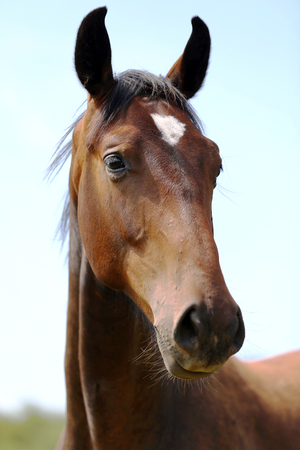 Thoroughbred youngster posing on the green meadow summertime. Portrait of a purebred young horse on summer pasture. Closeup of a young domestic horse on natural background outdoors rural scene Standard-Bild