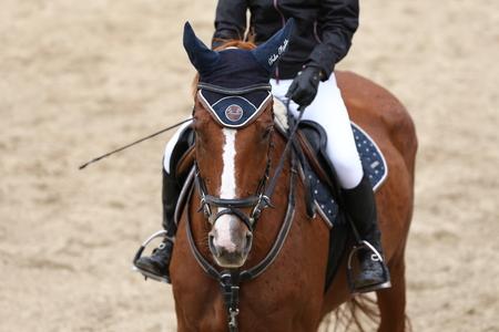 Sport horse close up under old leather saddle on dressage competition. Equestrian sport background. Imagens