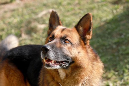 Adorable purebred german shepherd watching dog standing on rural animal farm summer time Banque d'images