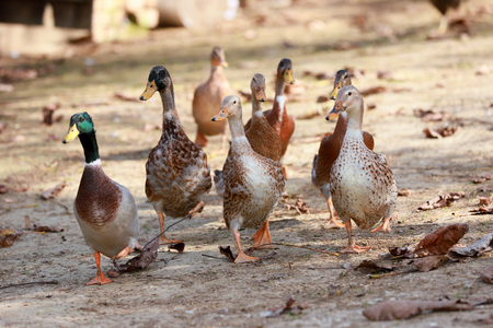 Goose and ducks live peacefully in the poultry farm rural scene Standard-Bild