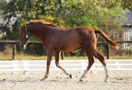 Cheerful young purebred foal posing and running on natural green background in the sand 版權商用圖片