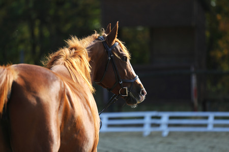 Close shot of a chestnut young mare on blurred green trees background