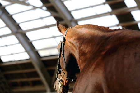 Headshot close up of a thoroughbred stallion in natural lights Banque d'images