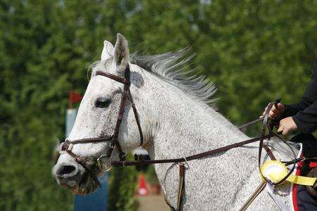 Kopf eines schönen jungen Sportpferdes während des Wettbewerbs im Freien. Sportpferdenahaufnahme auf Dressurwettbewerb. Pferdesport Hintergrund Standard-Bild