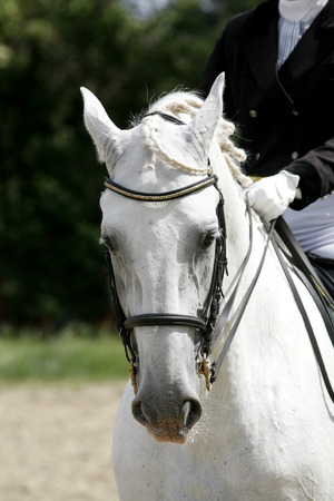 Head of a beautiful young sporting horse during competition outdoors. Sport horse closeup on dressage competition. Equestrian sport background