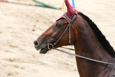 Sport horse closeup on dressage competition. Equestrian sport background 版權商用圖片