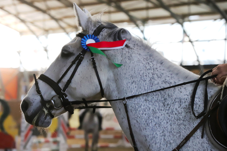 Sport horse closeup on dressage competition. Equestrian sport background Imagens