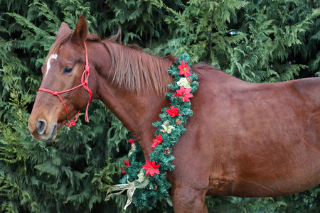 A chestnut saddle horse wearing a wreath with red flowers and golden bows