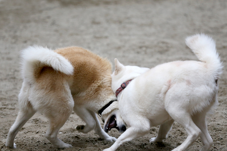 Japanese akita inu dogs playing in the sand