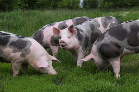 Healthy young pigs grazing on the green meadow summertime Фото со стока