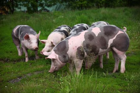 Group photo of young pigs on green grass near the farm. Healthy young pigs grazing on the green meadow summertime