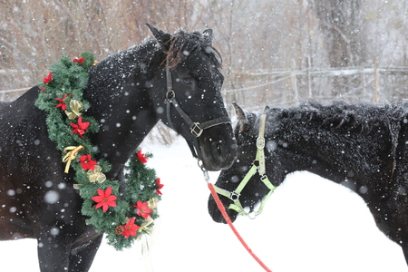 Saddle horse wearing beautiful colorful christmas wreath at advent weekend in the fresh snow Stock Photo