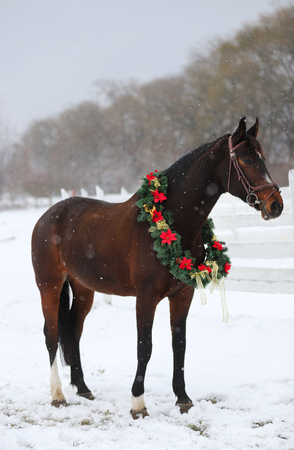 Picture of a purebred horse wearing beautiful Christmas garland decorations fall of snow