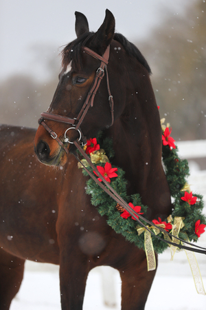 Saddle horse wearing beautiful colorful christmas wreath at advent weekend in the fresh snow Banque d'images