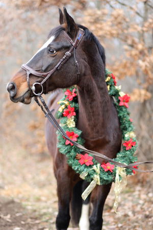 Brilliance image of a saddle horse wearing a beautiful christmas wreath on advent weekend