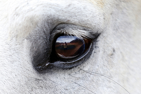Close up of a grey mare opposite reflected