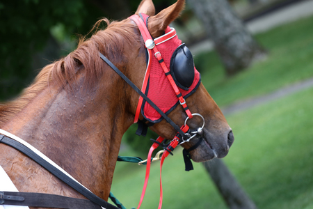 Portrait of a thoroughbred stallion. Closeup of a racehorse summertime open air
