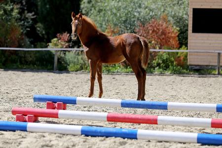 Beauty foal having fun on the dressage track