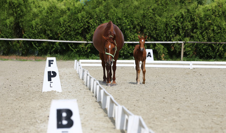 Purebred mare and her few weeks old filly galloping at riding center on the sandy field Zdjęcie Seryjne