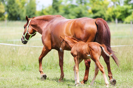 Purebred mare and her few weeks old filly galloping in summer flowering pasture idyllic picture Imagens