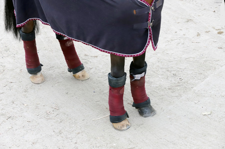 Four beautiful hooves of a show jumper horse before the open air race. Healthy horse feet of a show jumper horse Stock Photo