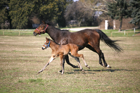 Beautiful thoroughbred mare and foal grazing and playing together at rural equestrian farm