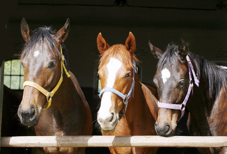 Closeup face of horses in stable.The horse is looking out from behind green wooden fence of the barn at rural animal farm summertime