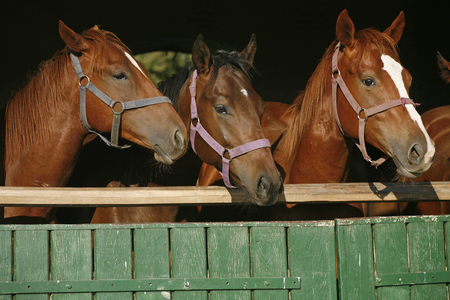 Nice curious thoroughbred foals standing in the stable door. Purebred chestnut youngsters standing in the barn. Horses looking out from behind green wooden fence of the barn at rural animal farm summertime