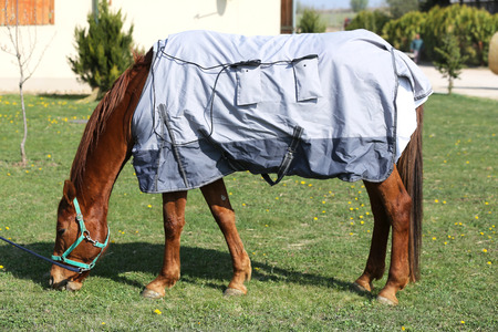 Side view photo of a young racehorse after training under a brand new  magnetic hherapy horse blanket at animal farm spring time
