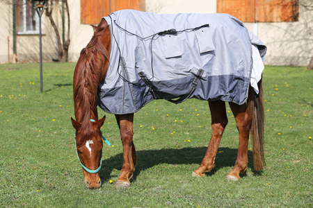 Side view photo of a young racehorse after training under a brand new magnetic hherapy horse blanket at animal farm spring time Stock fotó