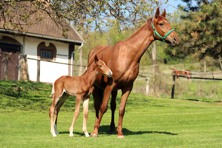 Closeup photo of a beautiful chestnut mare with her beautiful newbor foal at rural animal farm Imagens