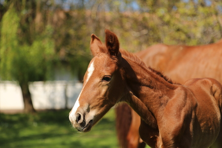 Closeup photo of a on day old newborn gidran colt at rural animal farm