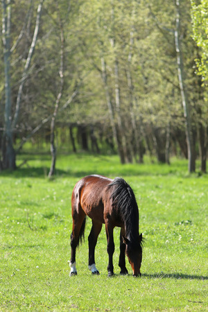 Thoroughbred horses walking and grazing in green meadow in beautiful morning springtime Фото со стока