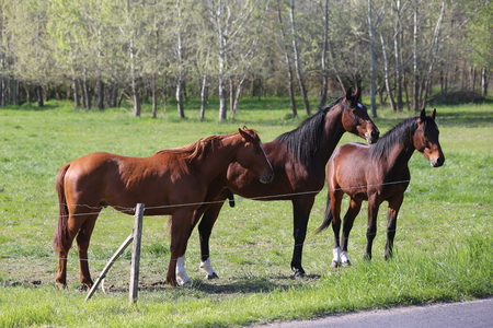 Purebred young sport horses graze in the pasture. Paddock horses living on rural ranch