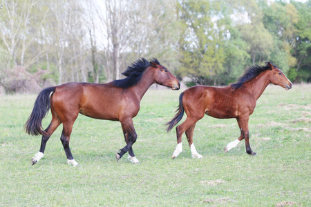 Purebred young stallions galloping on green natural background springtime