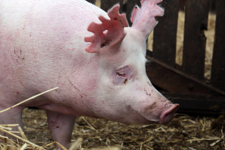 Pink colored young domestic pig standing in the barn 写真素材