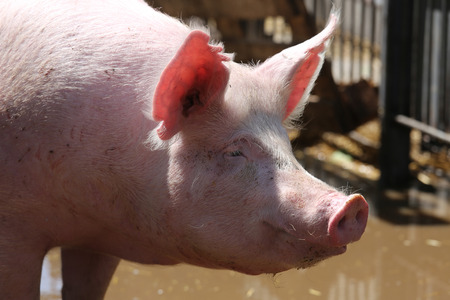 Portrait closeup of clearly washed young pig sow summertime