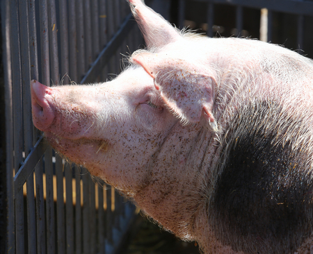 Side view closeup of a pink colored young pig sow summertime outdoors
