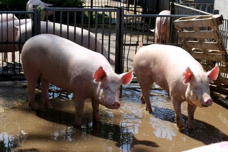 Pig sows sunbathing after shower behind metal fences sunny summertime Reklamní fotografie