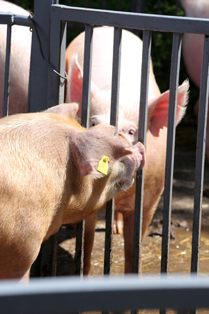 Group of domestic pink colored pig shows waiting for food in the box outdoors. Domesticated pig behind metal fence enjoy summer sunshine Reklamní fotografie