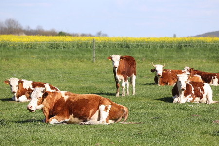 Herd of cows on beautiful rural animal farm grazing on green grass meadow.