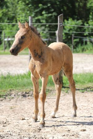 Beautiful thoroughbred foal posing for cameras at rural equestrian farm Banque d'images