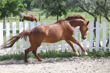 Beautiful young chestnut colored horse galloping in the corral summertime Stock Photo
