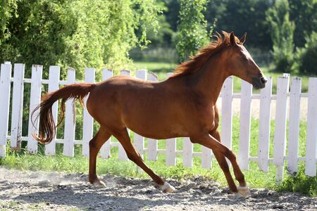 Beautiful young chestnut colored horse galloping in the corral summertime