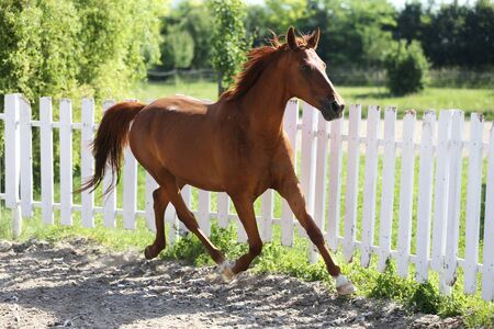 Beautiful young chestnut colored horse galloping in the corral summertime Banco de Imagens - 127774690