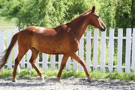 Beautiful healthy youngster canter against white paddock fence Stock Photo