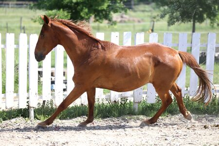 Beautiful healthy youngster canter against white paddock fence Stockfoto