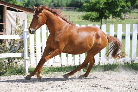 Beautiful healthy youngster canter against white paddock fence Banco de Imagens - 127774731
