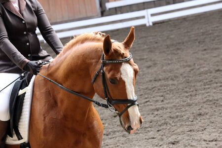 Portrait of a sport horse during dressage competition under saddle.Unknown contestant rides at dressage horse event indoor in riding ground indoors