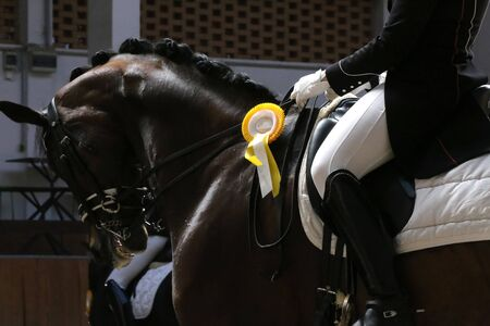 Beautiful purebred show jumper horse canter on the race course after race. Colorful ribbons rosette on head of an award winner beautiful young healthy racehorse on equitation event